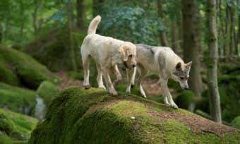 Avoid ticks in the wild Czech wolf dog and labradoodle