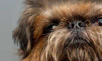 How much would pet insurance cost for Chewbacca?