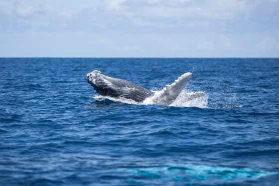 Calf Humpback whale (Megaptera novaeangliae) breaching