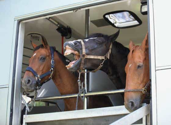Horses laughing in horse trailer