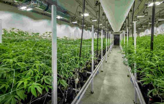 Growing Medical Marijuana in a Temperature Controlled Environment