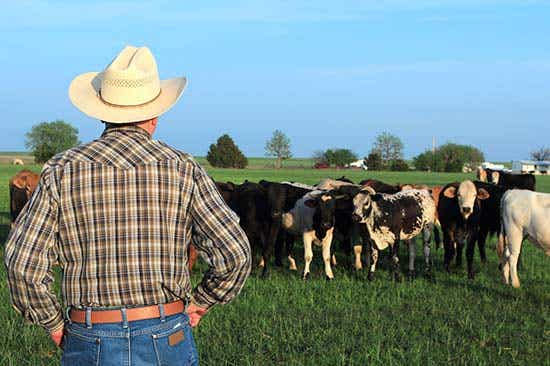 Cattler farmer look at cattle