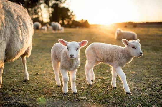 lamb industry outlook