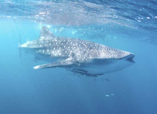 Whale shark Exmouth WA