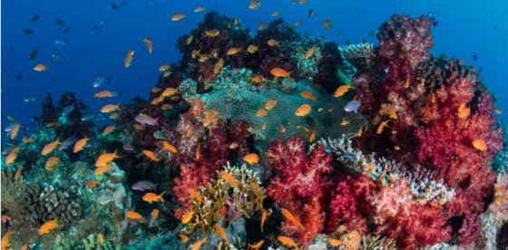 Fiji coral