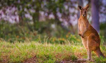 Drought forces roos closer to roads. What to do if you hit a kangaroo with your car.