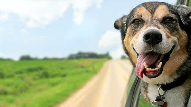 A happy German Shepherd Mix breed dog