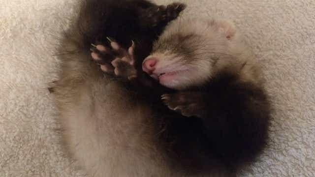 pet ferret asleep