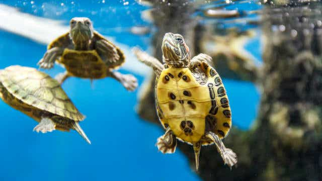 turtles in tank